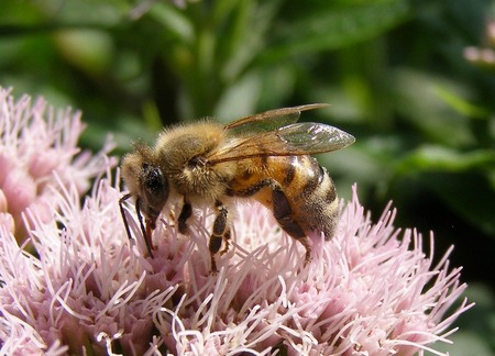 Bij op roze bloem - Bij op roze bloem haalt stuifmeel - foto door sbos op 18-06-2011 - deze foto bevat: bloem, bij, stuifmeel, honingbij
