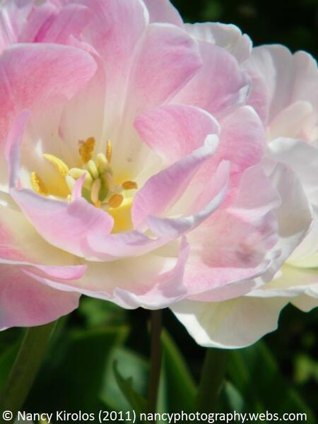 Tulp in bloei - Tulp in bloei tijdens het voorjaar - foto door nancyphotography op 12-08-2011 - deze foto bevat: roze, groen, kleur, wit, zon, bloem, natuur, geel, tulp, open, voorjaar, stamper, nederland, mooi, bloei, achtergrond, iso, mm, wazig, 80, 70, sec, 70 mm, iso-80, 1/250, f/10.8