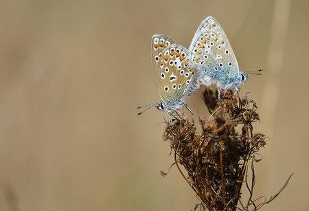 Butterfly love. - foto uit mijn archief. - foto door hayke op 09-01-2018 - deze foto bevat: vlinder, blauwtje, hayke