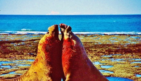 Argentinië Valdez Fighting Bull's Elephant-seals.jpg