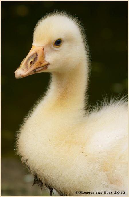Jonge Witte Gans - Oke, ik geef het maar toe, ik ben helemaal verliefd op dit lieve pluizebolletje :-) - foto door mogiky op 19-08-2013 - deze foto bevat: kleur, wit, dierentuin, vogel, pluis, gans, lief, jong, verliefd, contrast, scherpte