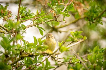 Tjiftjaf - Deze razendsnelle en  kleine tjiftjaf kunnen vastleggen! Wat een cutie! - foto door Alex-Maas1 op 05-04-2021 - deze foto bevat: groen, zon, boom, lente, natuur, geel, licht, blad, dieren, vogel, bos, nederland, helmond, tjiftjaf