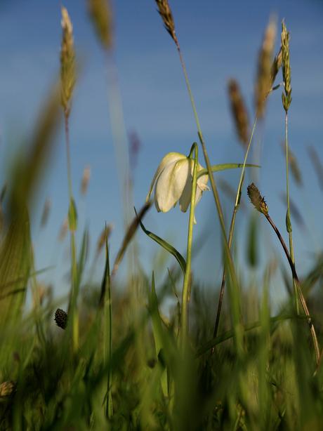 Witte kievitsbloem tegen de avond klein.jpg