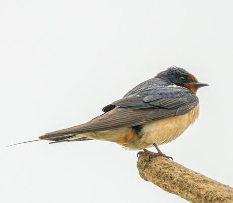 Snelle vogels
