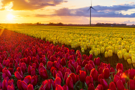 Sunset above a field full of tulips