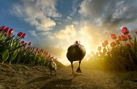 Vader en Zoon op pad tussen de tulpen
