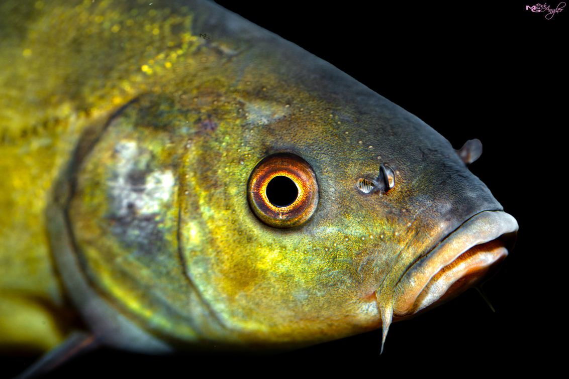Zeelt - Zeelt close up - foto door Fotografiemg op 20-03-2021 - deze foto bevat: water, natuur, dieren, vis, vissen, oog, zwemmen, aquarium, huisdieren, zeelt, zoetwater, aquarium fotografie