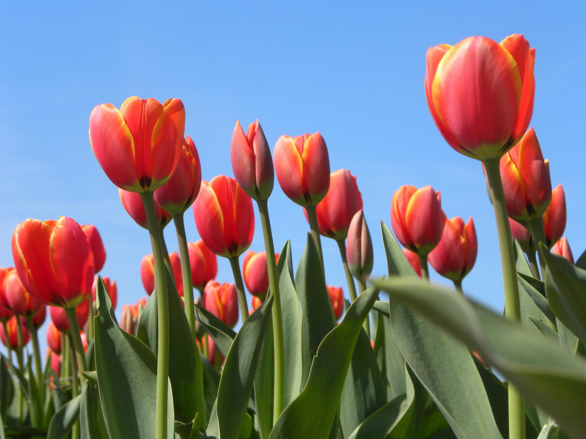 Tulpen - Tulpen Noord holland - foto door regina1981 op 25-01-2012 - deze foto bevat: tulpen
