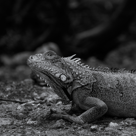 Profielfoto (Leguaan) - Hier is de vergroting van mijn profielfoto. Een  leguaan op Kokomo beach. (Curaçao) - foto door Kevin26 op 18-11-2018 - deze foto bevat: strand, natuur, dieren, leguaan, zwartwit, wildlife, reptiel, curacao, close-up, 2018, groeneleguaan
