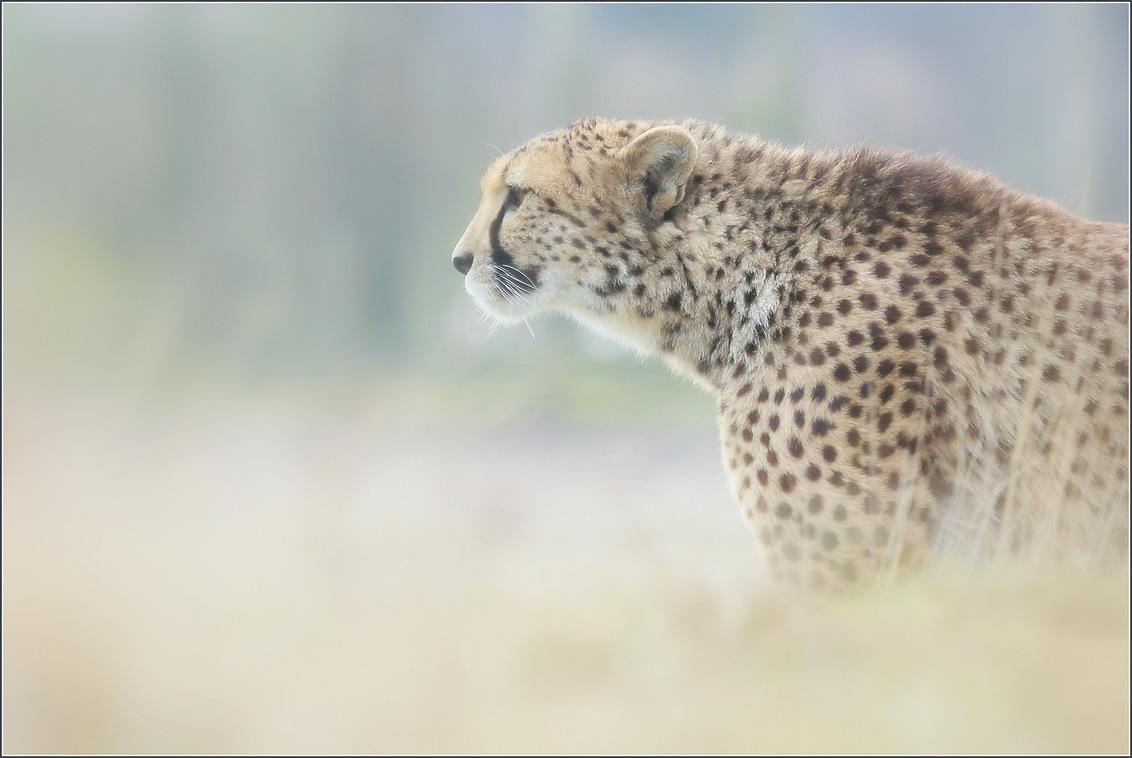 Cheetah - Het jachtluipaard ook wel cheetah genoemd is het snelste landdier op onze aardbol. In een korte sprint kan deze katachtige snelheden behalen van wel  - foto door gaklaasse op 02-12-2020 - deze foto bevat: natuur, dieren, jachtluipaard, roofdier