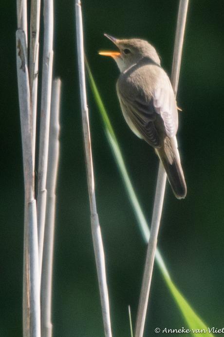 De kleine karekiet  (Acrocephalus scirpaceus)
