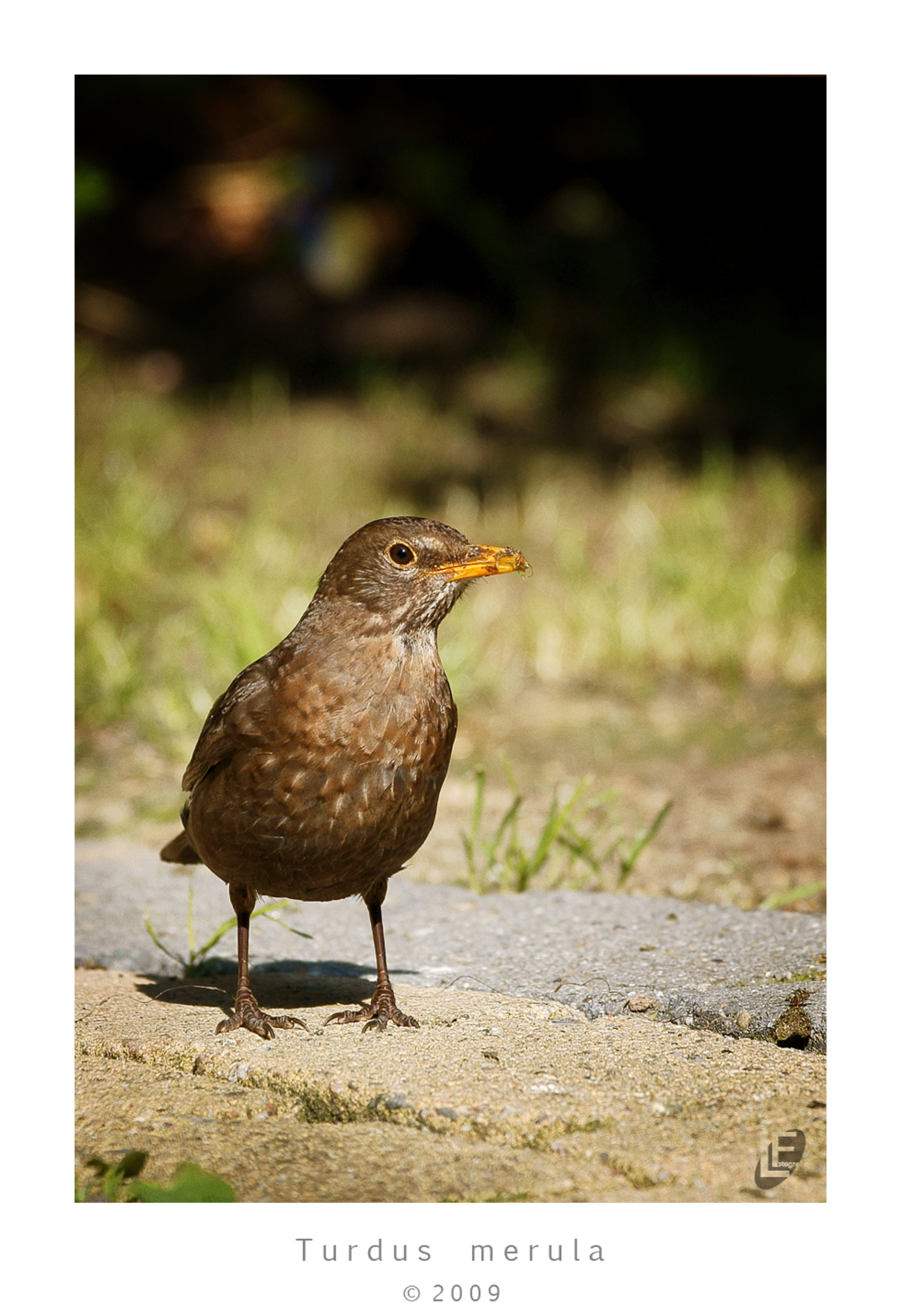 """Turdus Merula - ...klinkt beter dan """"merel"""" :-)  Let wel ! Scherpte zie je beter in de grote versie ;-)  verder geoefend met fotograferen van vogels...eerst die  - foto door lutgenf op 05-06-2009 - deze foto bevat: merel, vogel, tuinvogel, lutgenf, turdus merula"""