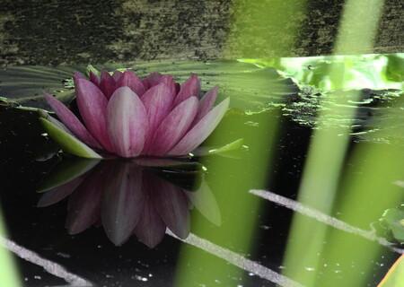 Verborgen schat - Verstopt onder het vijverbruggetje bloeit een waterlelie. Het zonlicht kiert spannend tussen de planken. - foto door soesa62 op 28-05-2011 - deze foto bevat: roze, vijver, schaduw, waterlelie, zonlicht