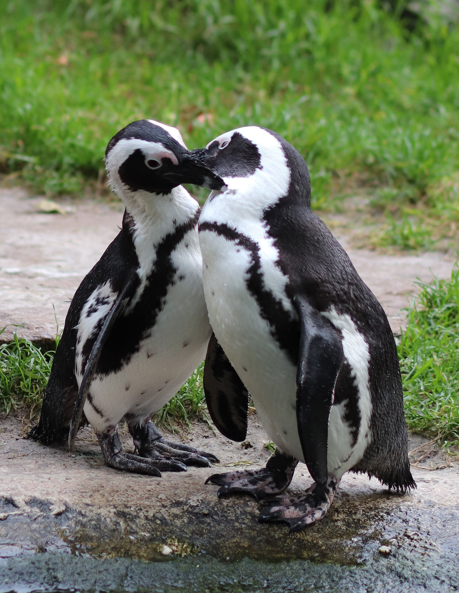The Kiss  - Bedankt voor jullie reacties op mijn vorige upload. - foto door Dorothy op 16-04-2021 - deze foto bevat: zwartvoetpinguïns, dieren, natuur, pinguïn, vogel, bek, nek, organisme, fabriek, terrestrische dieren, niet-vliegende vogel, water, natuurlijk landschap