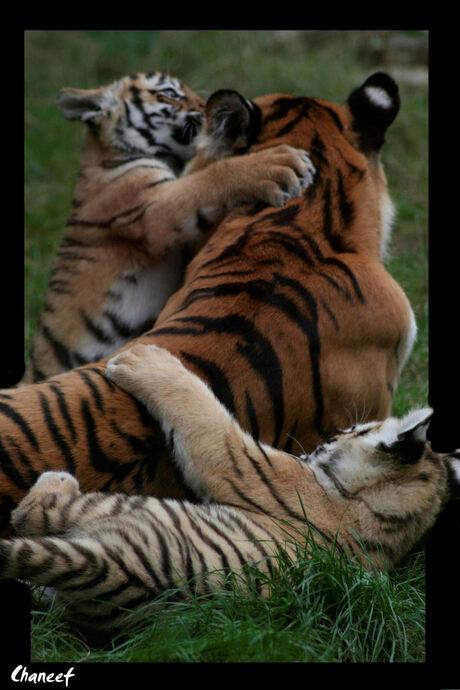 moeder tijger en jongen