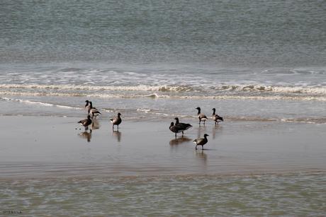 Deze ganzen kwam ik tegen op het Noordzeestrand.