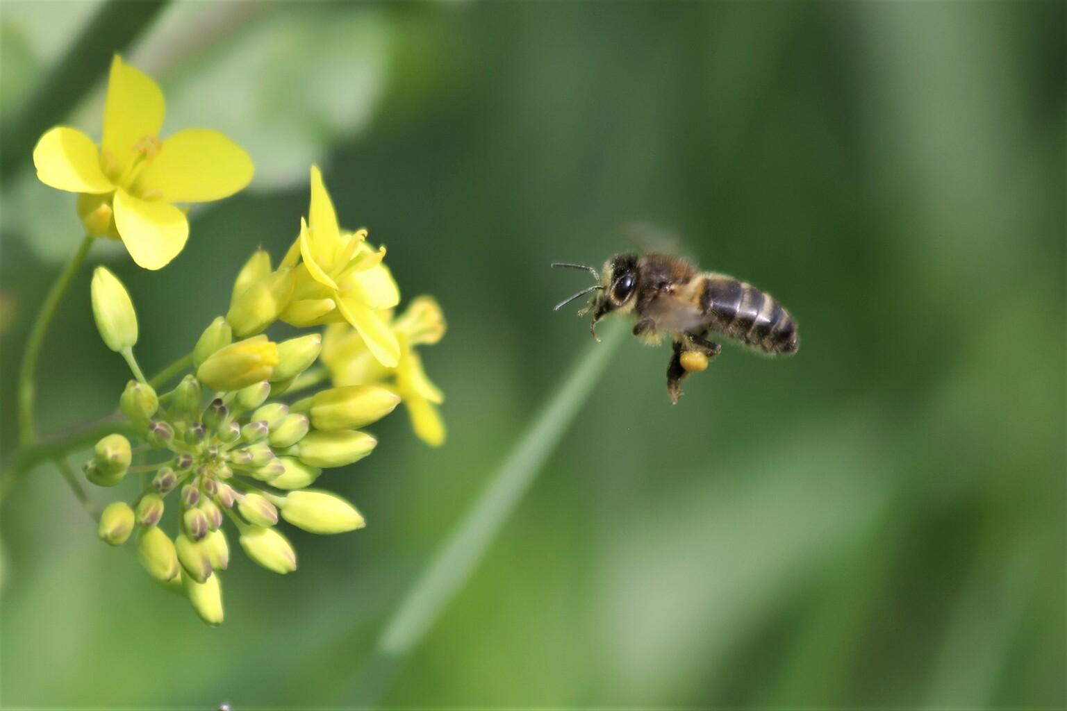 Honingbij - Vliegensvlug van bloem naar bloem - foto door marsonna op 15-04-2021 - locatie: 4241 Arkel, Nederland - deze foto bevat: insect, bijen, honingbij, nectarstuifmeel, lente, raapzaad, vliegend, bloem, fabriek, bestuiver, geleedpotigen, insect, bloemblaadje, honingbij, plaag, bloeiende plant, hommel