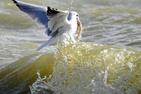 meeuw met vis.jpg