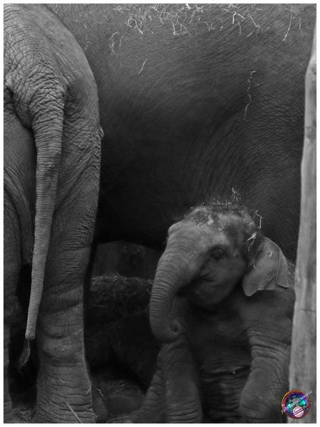 Eh, ... mag ik ook nog wat zeggen ... - - - foto door willemdanker op 28-12-2018 - deze foto bevat: olifant, dierenpark, amersfoort, olifantje, aziatische olifant