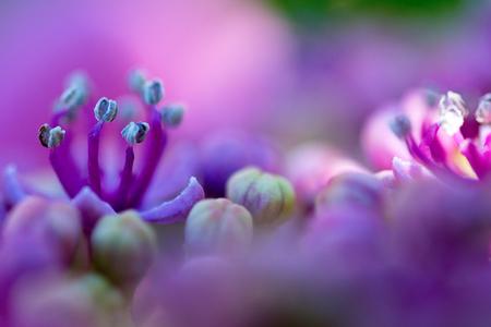 hortensia - - - foto door JeanneW op 26-07-2018 - deze foto bevat: paars, macro, bloem