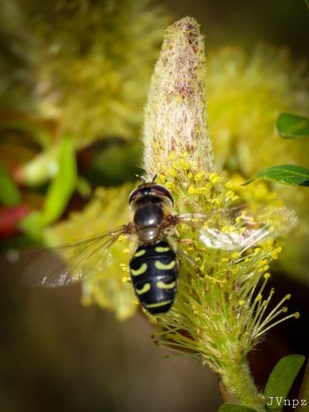 Gele Halvemaanzweefvlieg - - - foto door Vissernpz op 02-04-2021 - deze foto bevat: groen, bloem, natuur, lieveheersbeestje, vlieg, zweefvlieg, tuin, insect