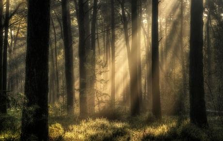Zonnestralen door het Dennenbos