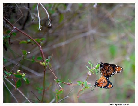 Monarch-duo