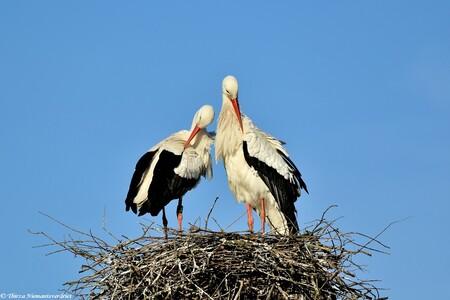 Love is in the Air - Ooievaarskoppel aan de schoonmaak van het mooie verenkleed, en het nest. Klaar voor het voorjaar en gezinsuitbreiding. Eentje uit het archief. - foto door thirzaniemantsverdriet op 15-04-2021 - deze foto bevat: lucht, vogel, witte ooievaar, natuur, afdeling, bek, takje, vogelnest, ciconiiformes, veer