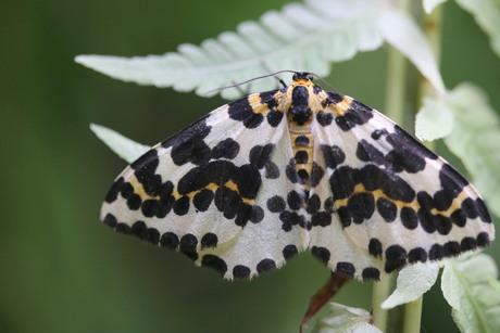 Bonte bessen vlinder