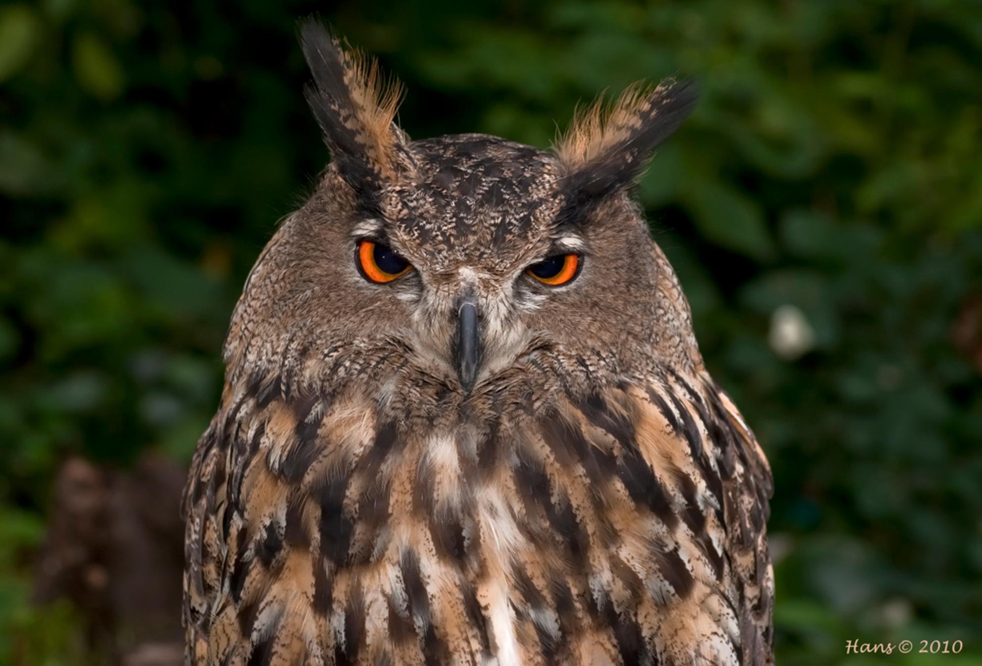 """oehoe? - Deze grote uil tijdje terug gefotografeerd bij een roofvogelshow in Schiedam. Bij natuurcentrum """"De Boshoek"""". - foto door Hans1969_zoom op 15-11-2010 - deze foto bevat: uil, oehoe, roofvogelshow, de boshoek"""