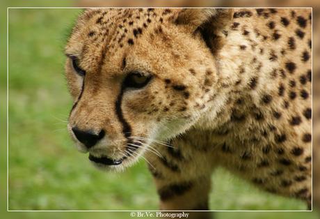 Cheetah @ GaiaZoo
