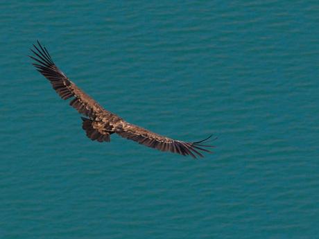Vale gier boven stuwmeer