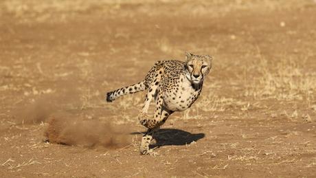 Namibie: Cheetah need voor speed