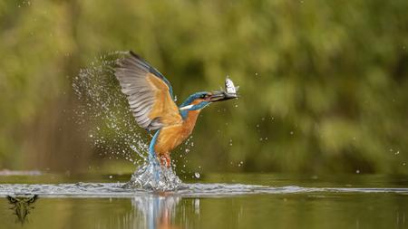 ijsvogel  - ijsvogel in vlucht met visje - foto door Raymond50 op 13-04-2021 - deze foto bevat: ijsvogel, kingfisher, water, vogel, gewervelde, bek, vloeistof, meer, veer, vleugel, kijk maar, watervogels