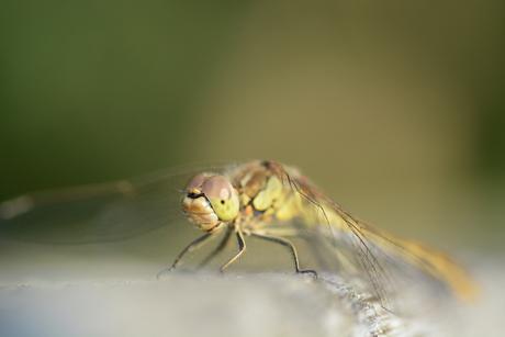 Heidelibel close up