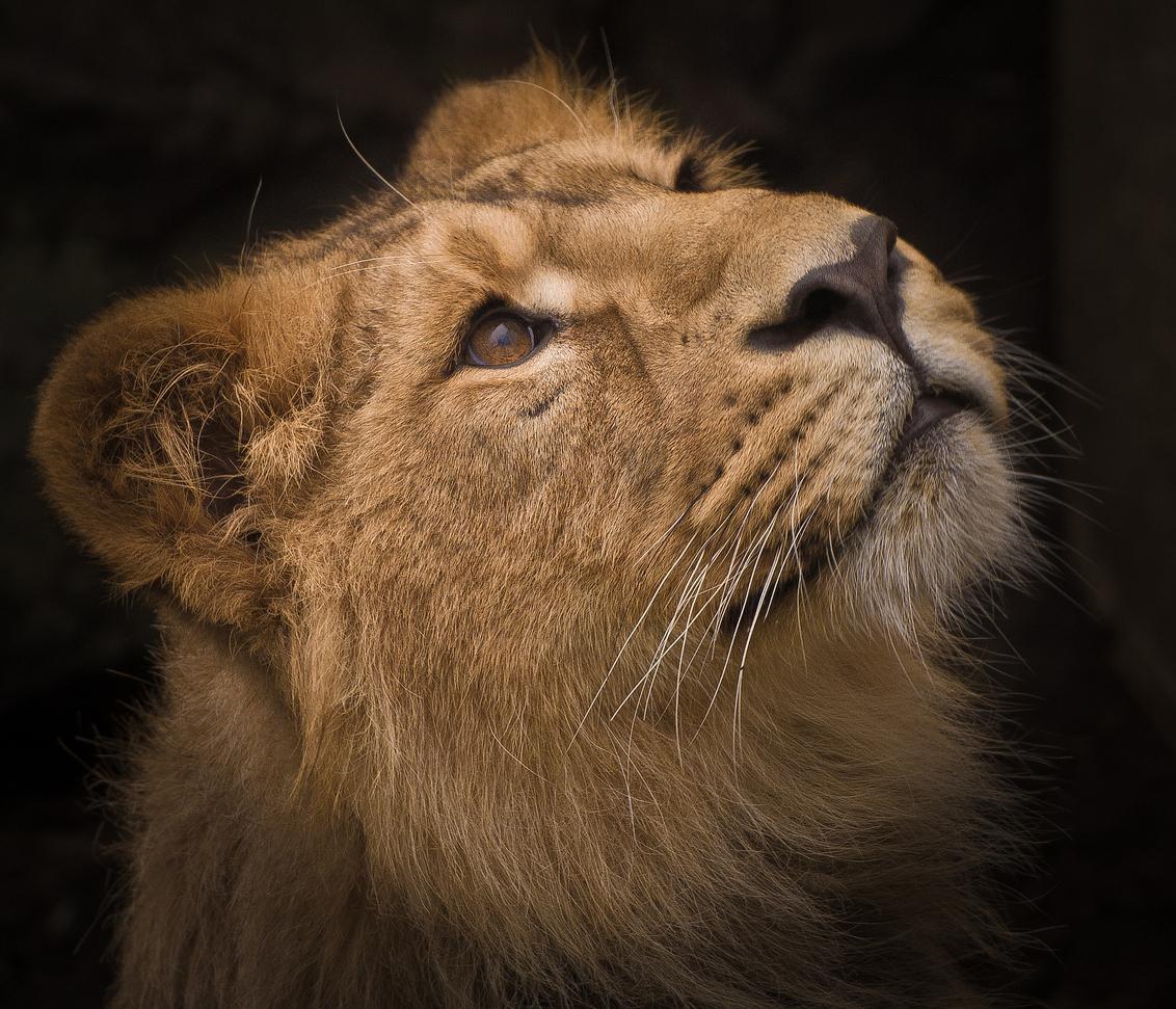 *****Het licht zien***** - Het licht zien...  Bedankt voor de geweldige reacties op mijn *****Gewoon Huismussie II*****  Fijne avond!  Groet, Ruud - foto door kyano09 op 26-02-2013 - deze foto bevat: kleuren, foto, kleur, dierentuin, nature, natuur, dieren, dier, leeuw, fotograferen, leeuwen, blijdorp, fotografie, diergaarde, leeuwtje, leeuwtjes, aziatische, fotos, dierentuinen, diergaarde blijdorp rotterdam, blijdorp rotterdam, natuur fotografie, aziatische leeuw, dierentuin Rotterdam, aziatische leeuwen, aziatisch leeuwtje, Kleine jongetjes worden groot, Aziatische leeuwtjes, Het licht zien