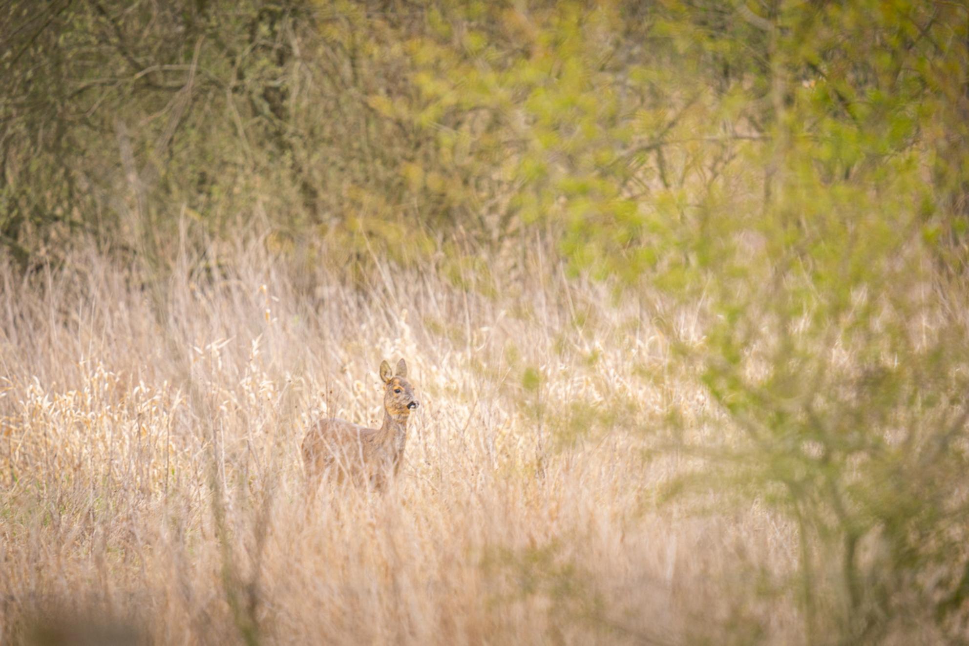 Deer in the high grass - Wat een feest was het gisteren bij natuurgebied de bundertjes in Helmond: ontzettend veel reeën gezien! In de weide, tussen het hoge gras, in het bos - foto door Alex-Maas1 op 05-04-2021 - deze foto bevat: groen, boom, lente, natuur, geel, licht, dieren, ree, wild, bos, brabant, voorjaar, daglicht, nederland, wildlife, helmond, bewolkt, hoog gras, natuurgebied de bundertjes
