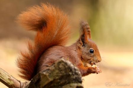 Diner - Een eekhoorn met zijn hapje  - foto door eedee op 10-04-2021 - deze foto bevat: eekhoorn, natuur, bos, dieren, euraziatische rode eekhoorn, knaagdier, organisme, eekhoorn, bakkebaarden, hout, fawn, terrestrische dieren, abert's eekhoorn, fox eekhoorn