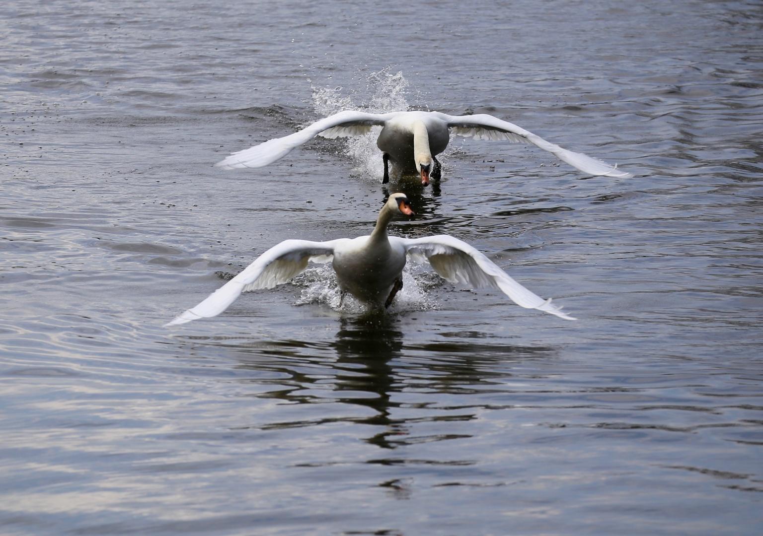 Zwanen mannetjes - Achtervolging - foto door Ebben op 16-04-2021 - deze foto bevat: water, vogel, bek, meer, vloeistof, watervogels, veer, lichaam van water, eenden, ganzen en zwanen, hout