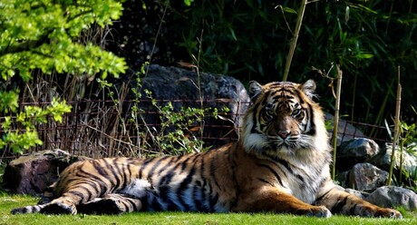Tijgers, zijn de Koning  van de Jungle !!!