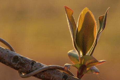 Ontluikend blad in ochtendlicht