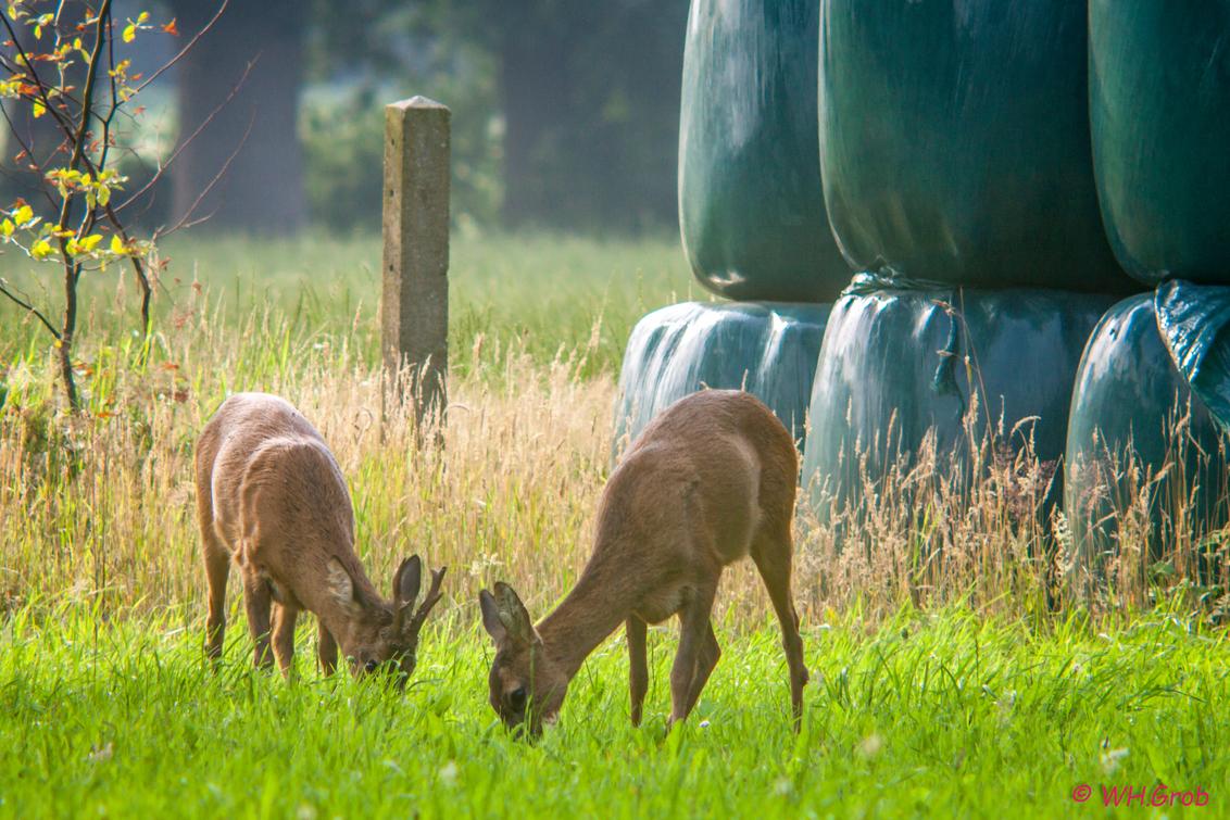 dineren op de boer - dit jonge stelletje zag ik lekker rustig eten in een boeren landje ! - foto door WHGrob op 12-07-2017 - deze foto bevat: groen, natuur, dieren, ree, bos, reeen, nederland, rijssen, grob