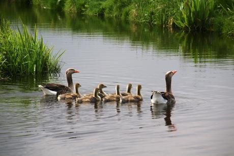 Zwemmende familie