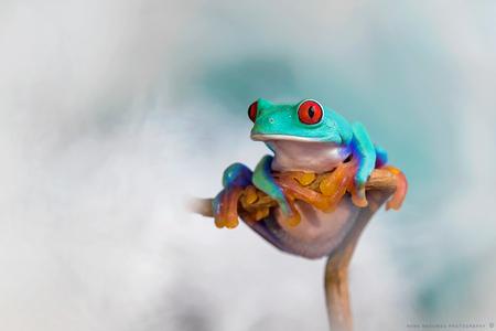 His natural suit - Je zult 's morgens op staan en al zo'n pak van jezelf aan hebben. Dan begint je dag wel kleurrijk ;-) , uhm eigenlijk nacht.  Deze meneer staat na - foto door h.meeuwes op 03-01-2019 - deze foto bevat: rood, kleur, macro, blauw, kikker, oranje, ogen, hangen, kleurrijk, tropisch, pootjes, dof, boomkikker, staren, tenen, zitten, bokeh, agalychnis, costa rica, Agalychnis callidryas, roodoogmaki, henk meeuwes