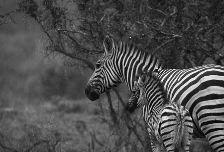 Mama ik hou niet van de regen - Deze foto heb ik gemaakt in zuid-Afrika afgelopen november tijdens een safari waar het regende. - foto door ciliaheus op 12-07-2018 - deze foto bevat: zebra, safari, afrika, wildlife