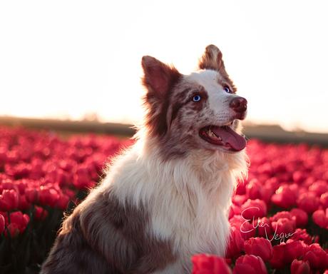 Haich tussen de tulpen