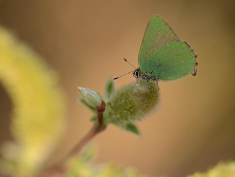 Groentje, vlinder