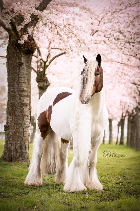 Nolan - Prachtige tinker Nolan stond model onder de bloeiende bloesembomen. - foto door Bentefotografie op 12-04-2021 - deze foto bevat: tinker, paard, bloesem, paard, fabriek, hondenras, boom, fawn, werkend dier, metgezel hond, gras, snuit, natuurlijk landschap