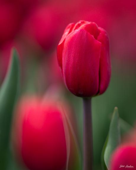 Portret van een tulp (red)