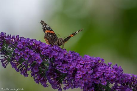 Atalanta op een vlinderstruik